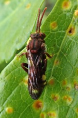 180426 Nomada ruficornis maybe (1)