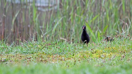 180427 Moorhen chicks (1)