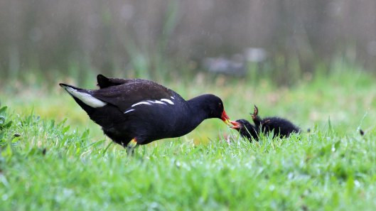 180427 Moorhen chicks (2)