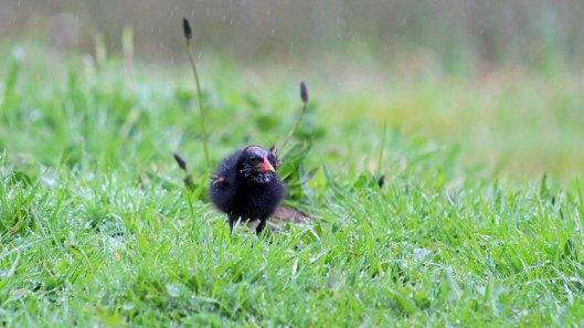 180427 Moorhen chicks (3)