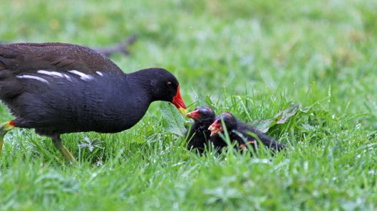 180427 Moorhen chicks (4)