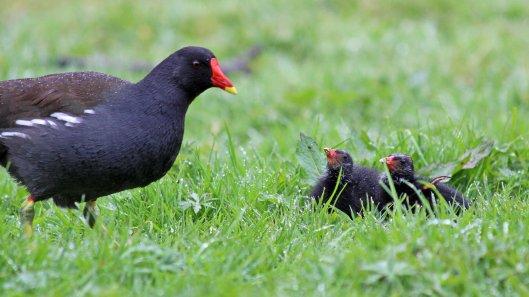 180427 Moorhen chicks (5)