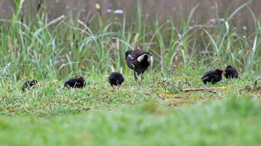 180427 Moorhen chicks (8)