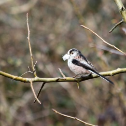 180430 1 Long-tailed tit