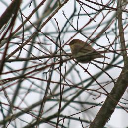 180430 2 Willow warbler