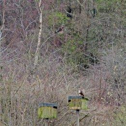 180430 5 buzzards