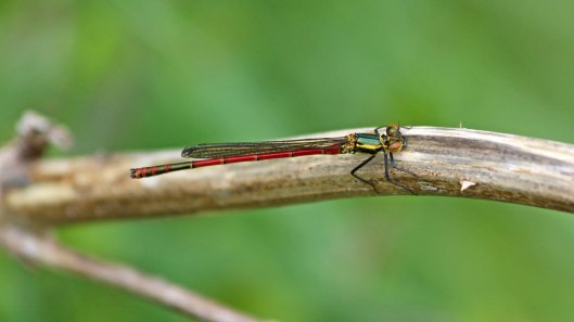 180430 9 Large red damselfly