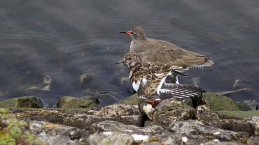 180501 turnstone & redshank