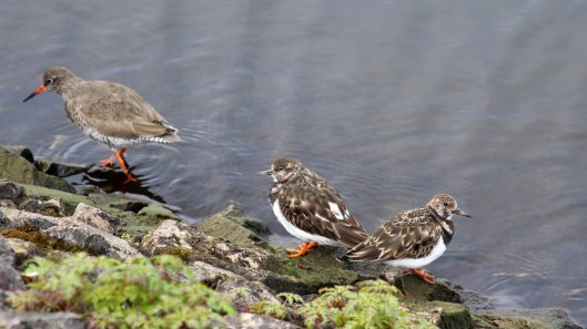 180501 turnstones & redshank