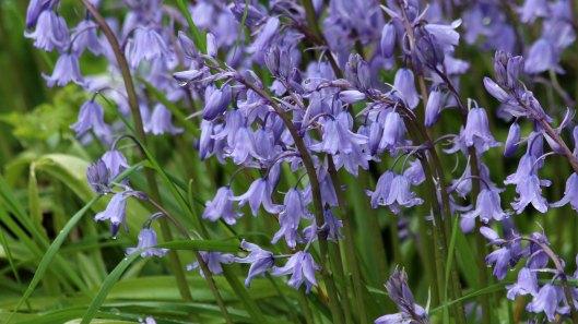180504 1 bluebells