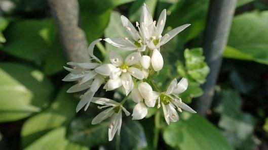 180504 10 wild garlic