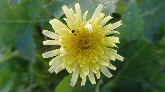 180504 9 Sow thistle