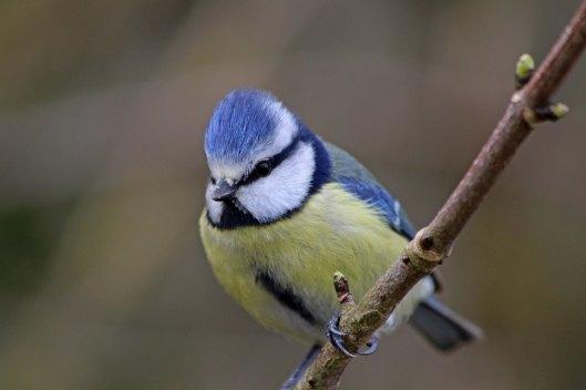 180506 Blue tit