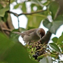 180507 blackcap female (2)