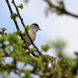 180507 blackcap male (1)