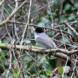 180507 blackcap male (2)