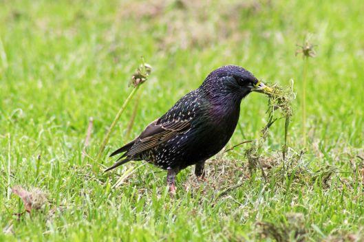 180508 starling