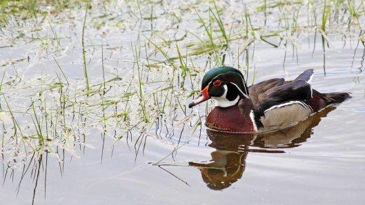 133 wood duck