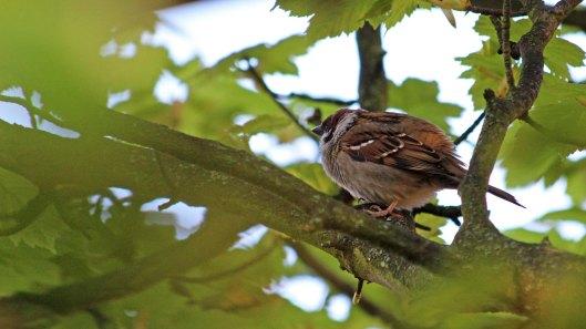 147 tree sparrow