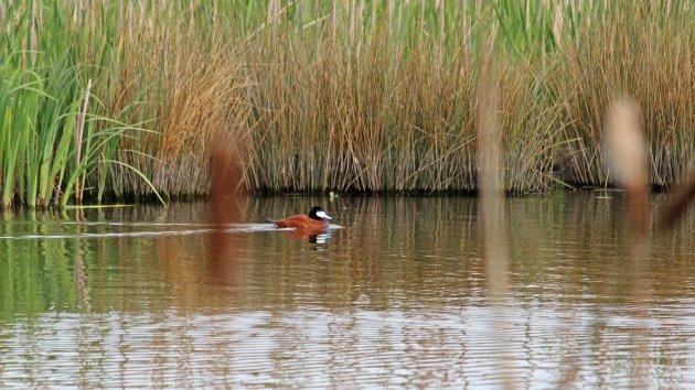 174 Ruddy duck