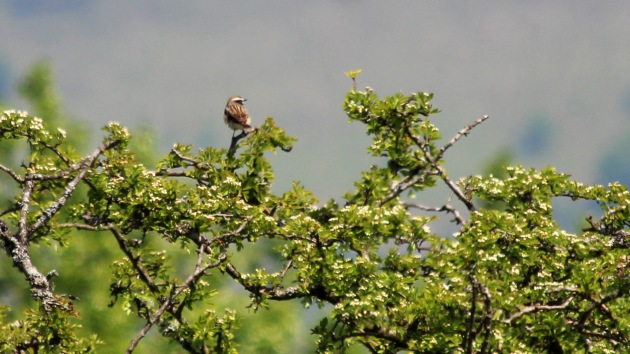 180 whinchat