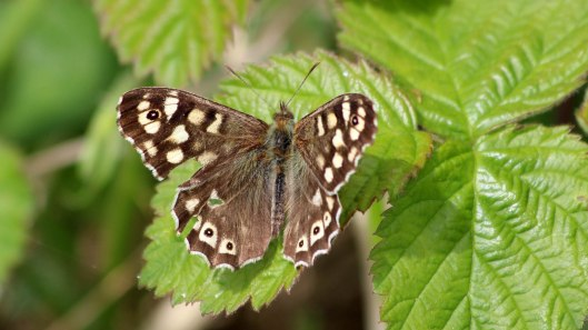 180503 Speckled wood