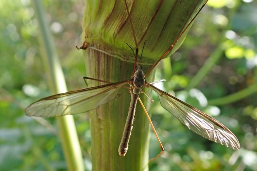 180510 Tipula oleracea
