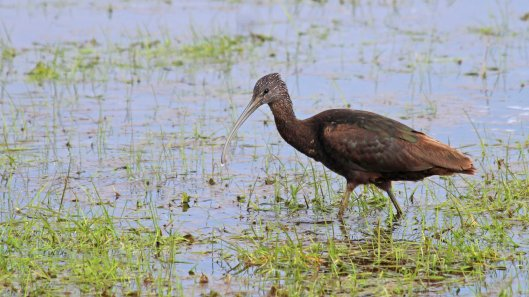 180512 glossy ibis (1)