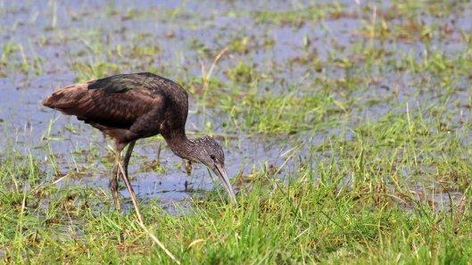 180512 glossy ibis (2)