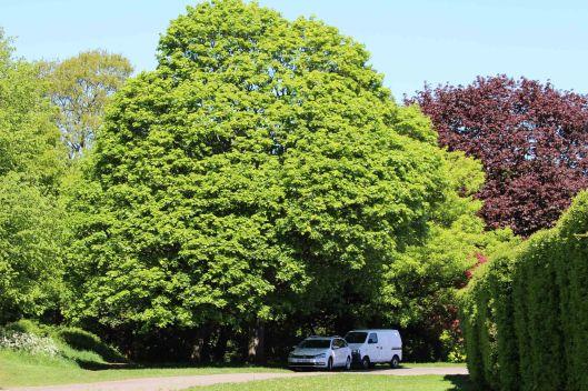 180514 Acer pictum (1)