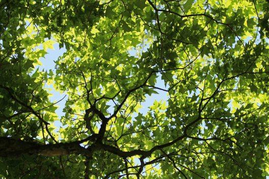 180514 Acer pictum (2)