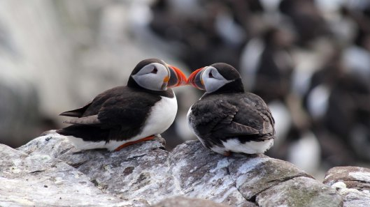 180515 puffins in love
