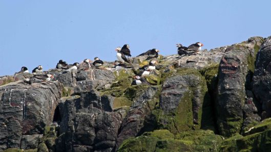 180515 puffins on the cliff tops (1)