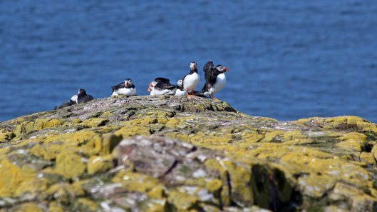 180515 puffins on the cliff tops (2)