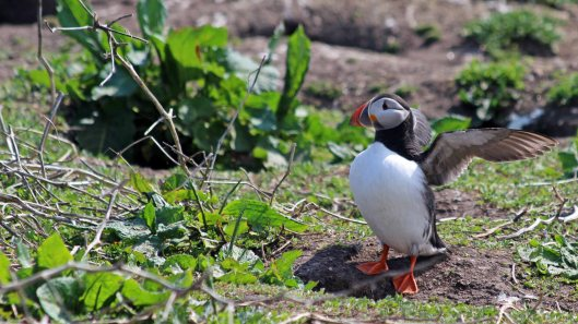 180515 puffins protecting their burrows (1)