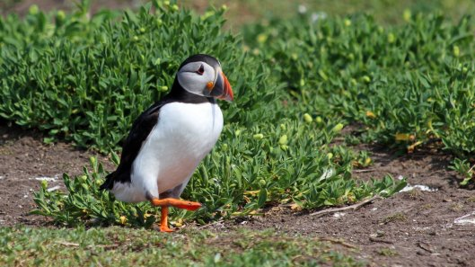 180515 puffins protecting their burrows (3)