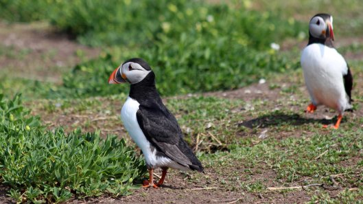 180515 puffins protecting their burrows (4)