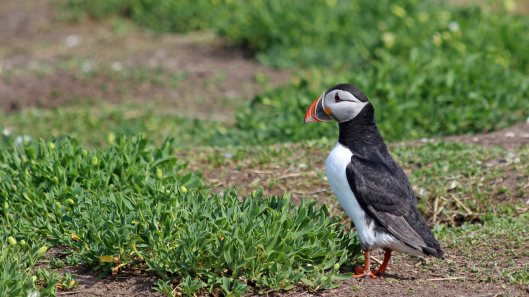 180515 puffins protecting their burrows (5)