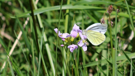 180517 Green-veined white
