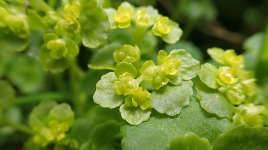 180517 Opposite-leaved golden saxifrage