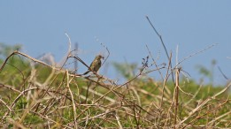 180525 b meadow pipit