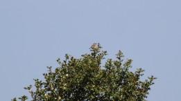 180525 b tree pipit