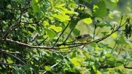 180525 b willow warbler