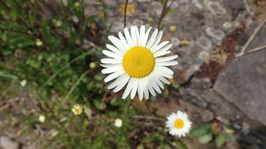 180525 Oxeye daisy