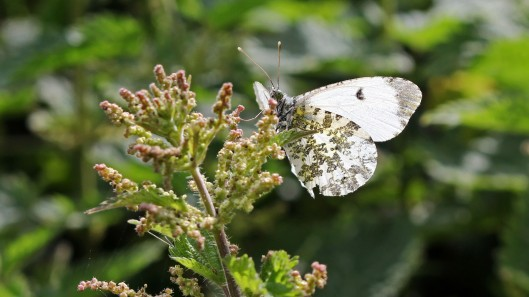 180527 Orange-tip female.jpg
