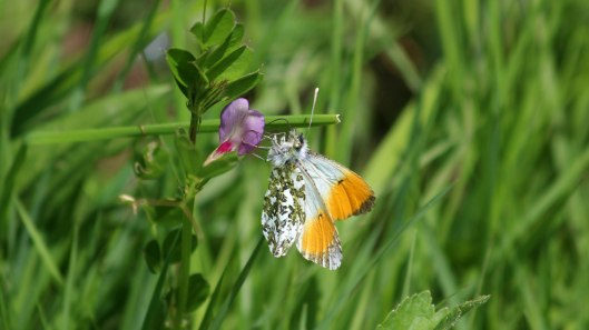 180527 Orange-tip male