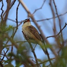 180528 sedge warbler (3)