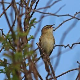 180528 sedge warbler (4)