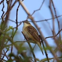 180528 sedge warbler (5)