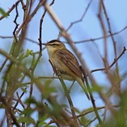 180528 sedge warbler (6)
